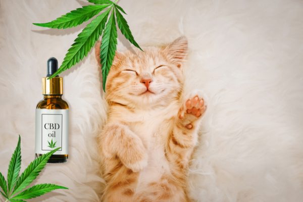 CBD Oil for Cats: What You Need to Know